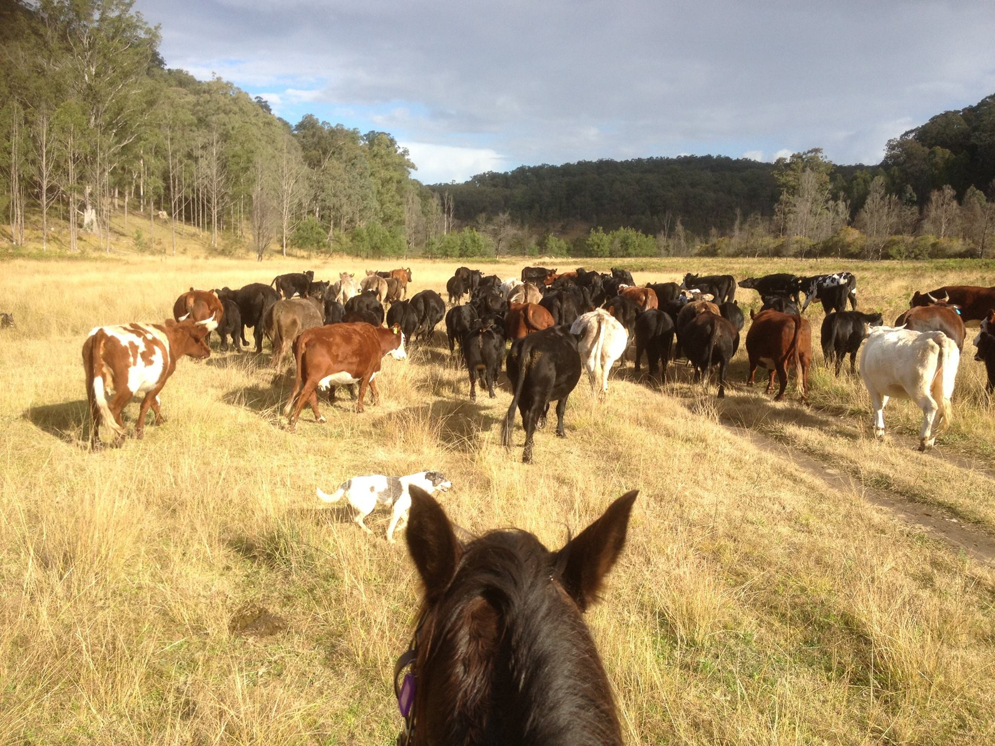 Chapman Valley Cattle Muster