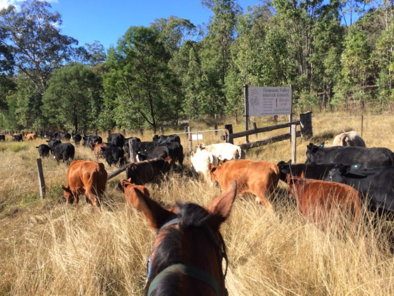 Farm Work Cattle Muster
