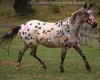 Oreo-chapman-valley-horses